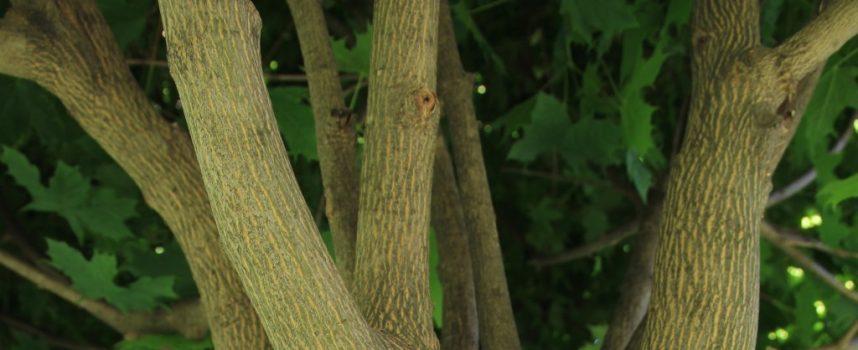 SRAMOTA Nepoznati počinitelj iživljavao se na stablima