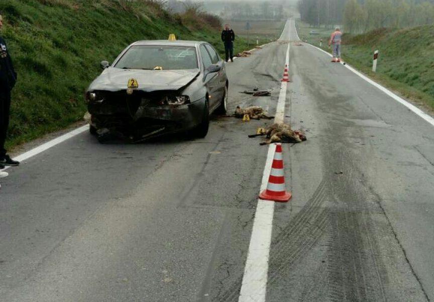 KRVAVI PRIZOR Pod gumama automobila stradalo cijelo stado janjaca