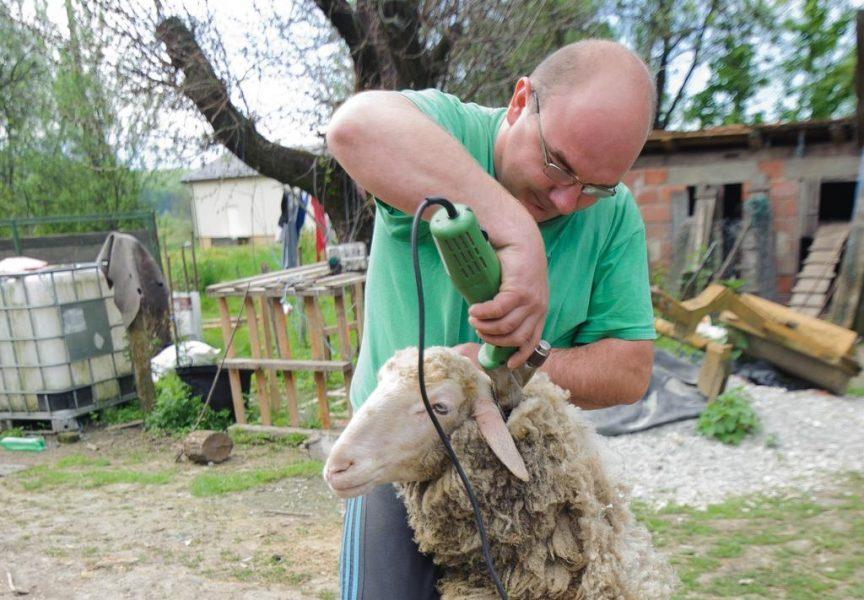 ŠIŠANJE OVACA Branislav Lazić tri ovce ošiša u malo više od tri minute