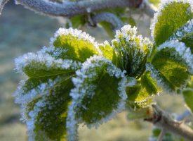 OBAVIJEST Prijava za štetu nastalu zbog mraza na dugogodišnjim nanasadima i ostalim dobrima