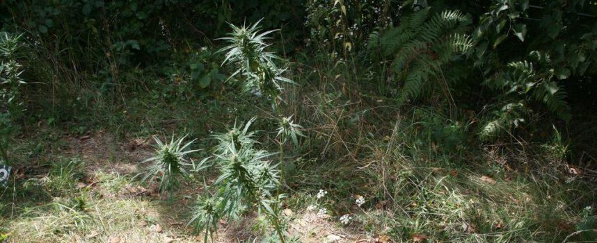 NEPRAVOMOĆNO Drakonska kazna Općinskog suda u Bjelovaru zbog jedne stabljike indijske konoplje