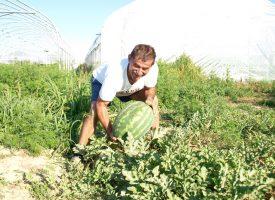 POVRTLARSTVO Crne lubenice iz Rovišća bit će jesenski hit na bilogorskim stolovima