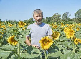 ZAMJENA ZA SOJU Polja suncokreta u punom su cvatu