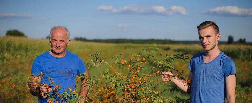 EKOLOŠKI ŠIPAK Kilogram sušenog ploda doseže cijenu od 15 kuna