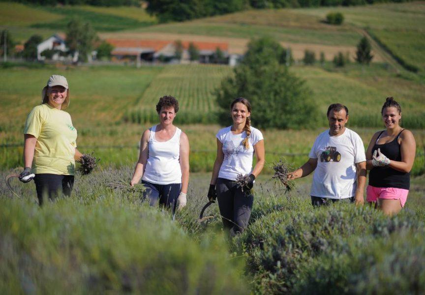 LJUBIČASTA POLJA Srpom poželi na stotine grmova mirisne bilogorske lavande