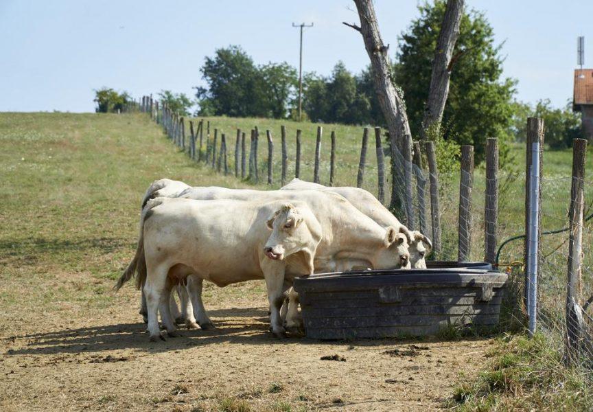 NOVAC I PAMET Najveća europska farma na kojoj se primjenjuje sustav 'krava – tele'