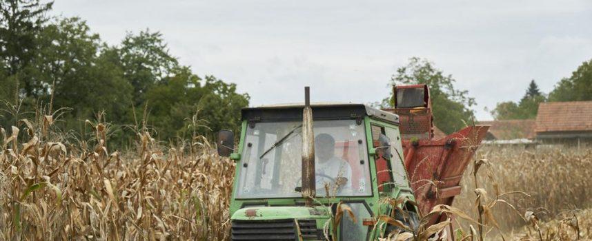 BERBA KUKURUZA Prinosi su zbog suše manji 30 do 40 posto