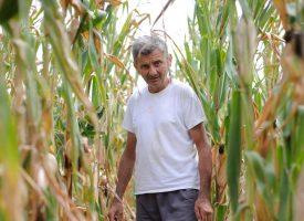 SUŠA UČINILA SVOJE Urod kukuruza bit će iznimno slab. Nakon redordne slijedi skromna godina