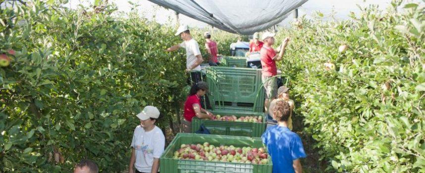 SEZONSKI POSAO Vrt d.o.o. traži veći broj osoba za berbu jabuka u Ždralovima