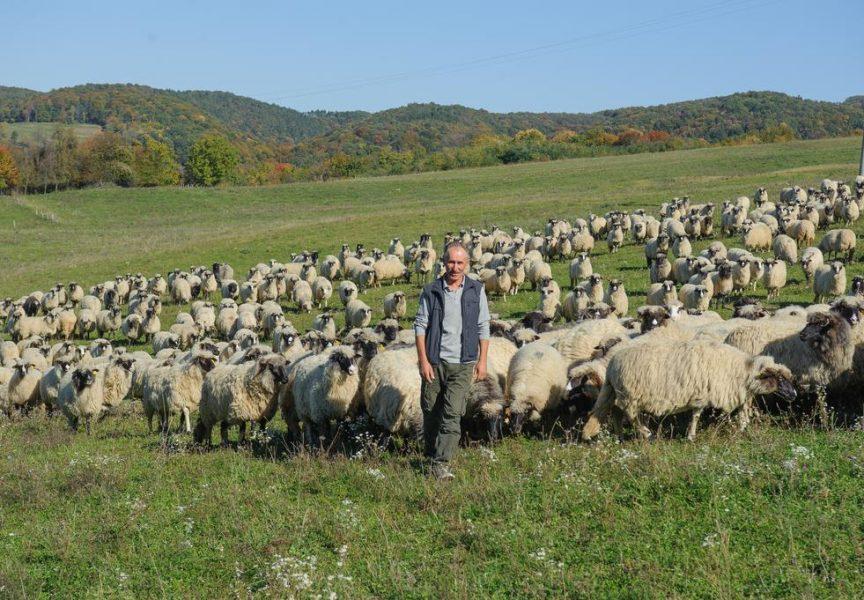 IVO PRANJEŠ Najveći proizvođač ovčjeg mlijeka