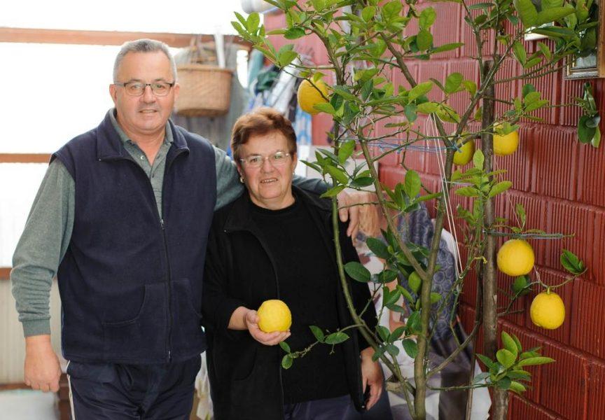 ČUDO PRIRODE Limun sa Slavonske ceste u Bjelovaru rađa čudesno