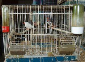 MALE ŽIVOTINJE Uzgoj ptica sve je popularniji u Bjelovaru