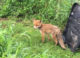 PREDATOR SE UDOMAĆIO U BJELOVARU Lisica ušetala na obiteljsku feštu