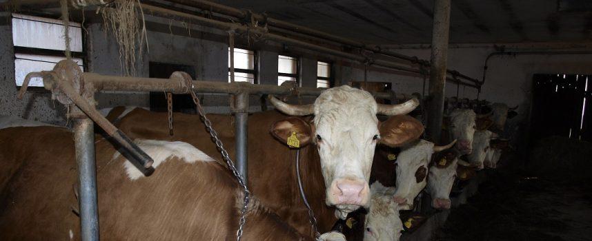 Krave upale u voćnjak i pobrstile jabuke