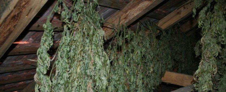 'KRALJEVI MARIHUANE' Nakon 10 kilograma dodatnim istraživanjima pronađeno još 18 kg cannabisa