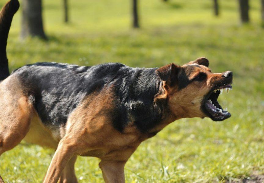 OŠTAR PAS Napadi pasa u Bjelovaru i Grubišnom Polju