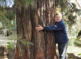 U BJELOVARU Drvo koje može narasti do stotinu metara visine