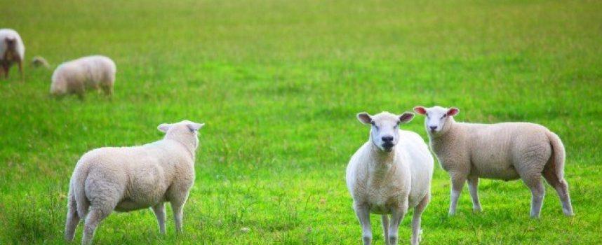 Ovce popasle tri i pol rali posijane djeteline i talijanskog ljulja