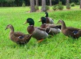 BESRAMNO Starici iz štale ukrao 20 patki