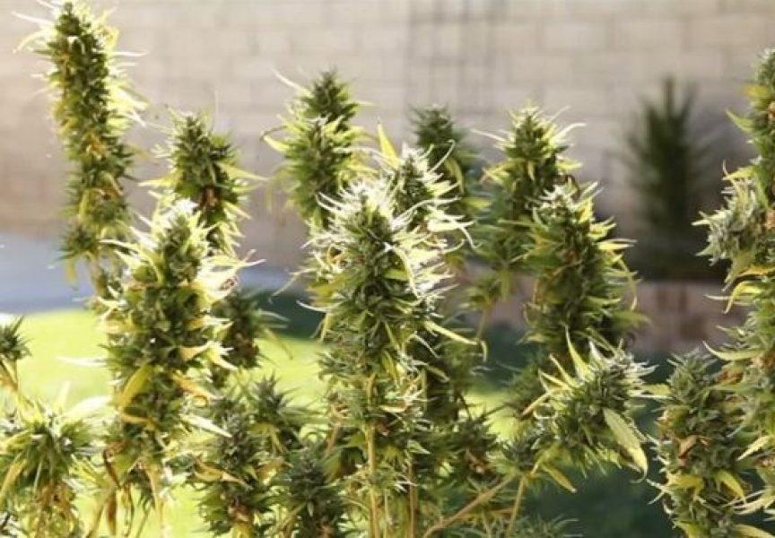 U dvorištu uzgojio 151 stabljiku marihuane