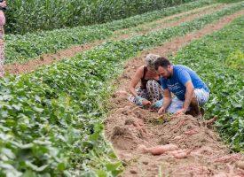 UZGOJ BATATA NA BILOGORSKIM BREŽULJCIMA – Slatki krumpir nađe kupca bez problema