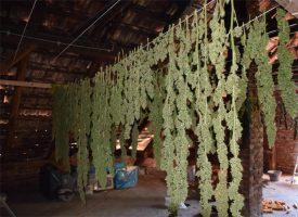 FOTO – Kod Čazme policija pronašla posjed gdje se uzgajala marihuana